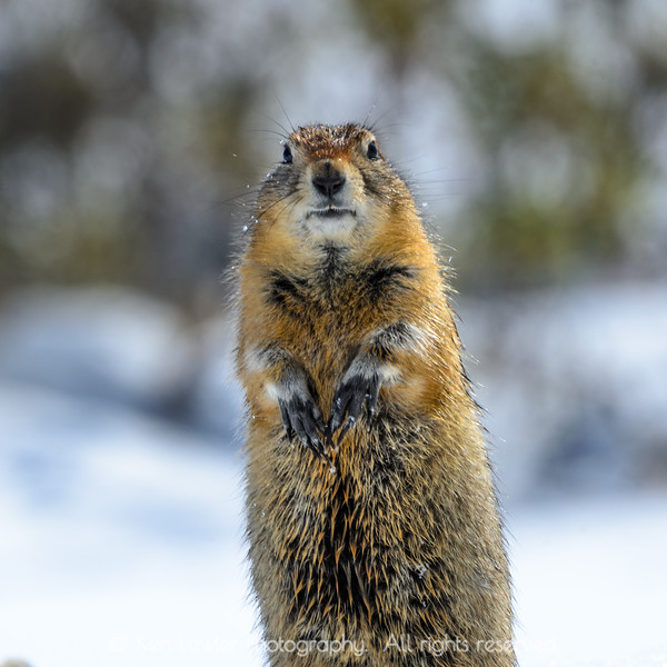 Alert ground squirrel