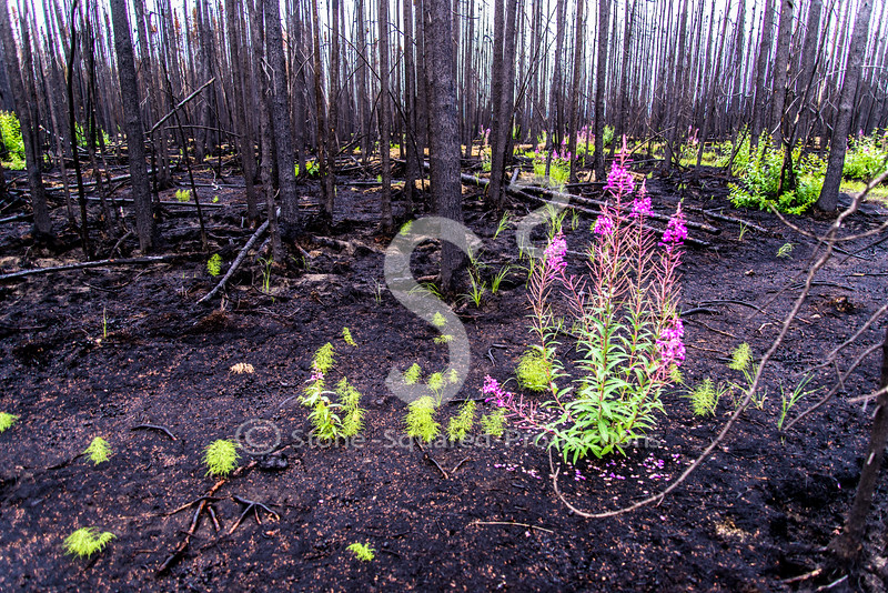"Why the name ""Fireweed?"""