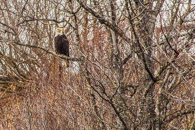 Bald eagle in tree on Kenai Peninsula, Alaska, USA