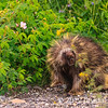 Porcupine at Denali National Park