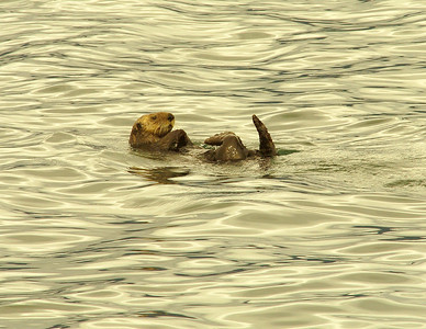 Otter Rests between Dives