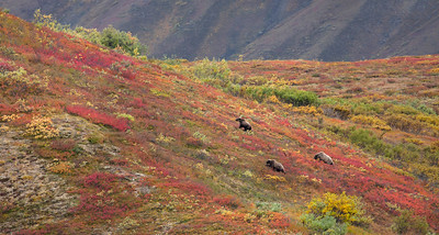 Grizzlies in tundra, Denali National Park