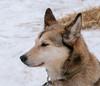 Alaskan husky portrait