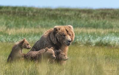 Kodiak sow and cubs 4
