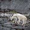 Playing Mountain Goat Kids, Glacier Bay