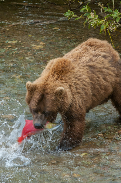 Photo Tour of Alaska: Brown Bear at Katmai Peninsula