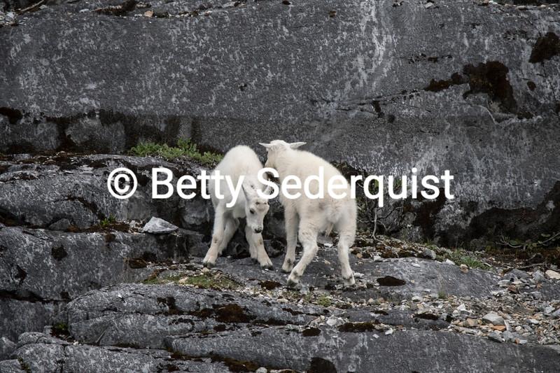 Frolicking Mountain Goat Kids, Glacier Bay