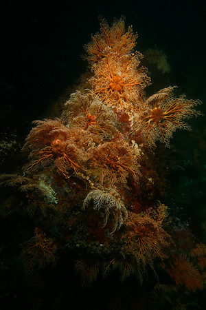 A profusion of basket stars, open and feeding in the current.