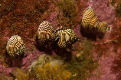 A queue of channeled topsnails (calliostoma canaliculatum).
