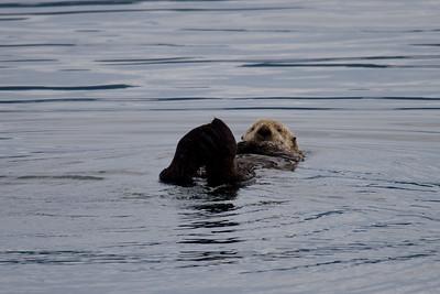Atlantic sea otter, taking a power nap