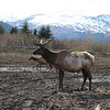 Cariboo (or reindeer) in a preserve outside of Anchorage, AK.