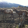 Elk find a home in a wildlife preserve midway between Anchorage and Seward, AK.