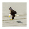 Bald_eagle-6