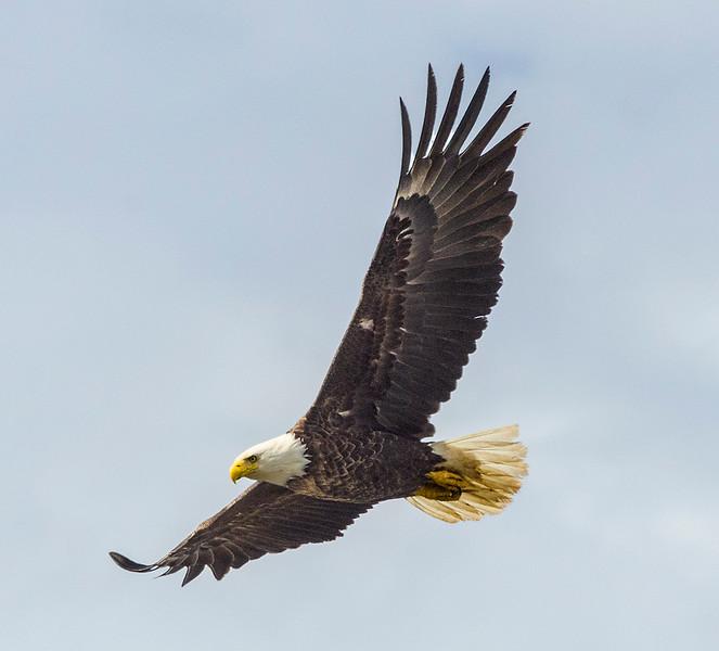 Bald_eagle-4