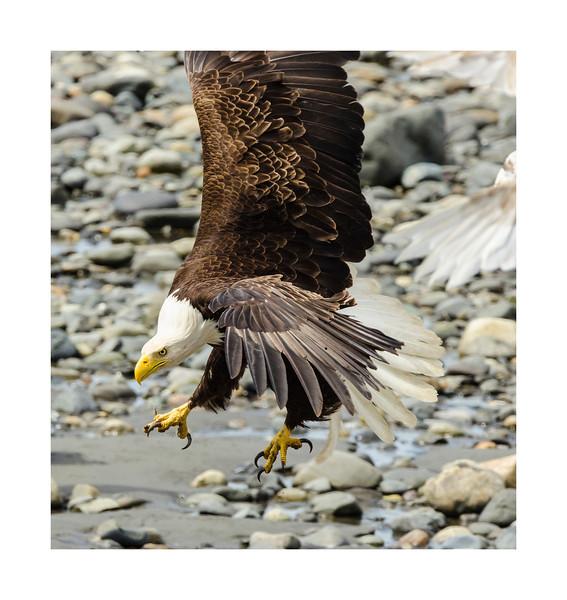 Bald_eagle-8