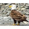 Bald_eagle-9