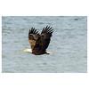 Bald_eagle-1