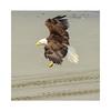 Bald_eagle-5
