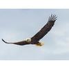 Bald_eagle-3