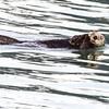Seward_otter-1