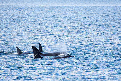 Juneau - Orca ( Killer Whales ) Pod