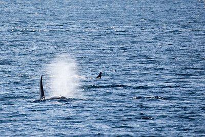 Juneau - Orca (Killer Whales) Pod - One is spouting
