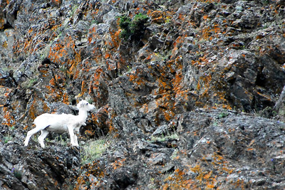 On the way to Whitter, we spotted sheep up on the mountain side.