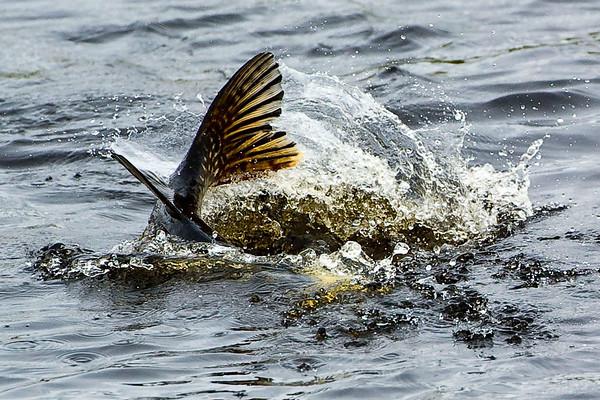 Alaska Pike Fishing with Midnight Sun Trophy Pike Adventures - Yukon Drainage, Alaska.  Jim Klug Photos - 2011