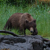 Coastal Brown Bear on the Hunt