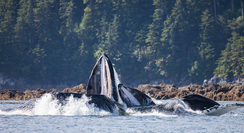 Bait fish try to escape the open mouth of bubble net feeding Humpback Whales