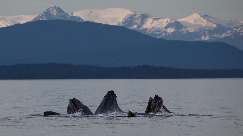 Humpbacks Bubble Net Feeding in Alaska