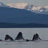 Humpbacks Bubble Net Feeding in Alaska