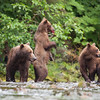 Hungry brown bear family notices an intruder
