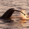 Whale Tail backlit during the golden hour