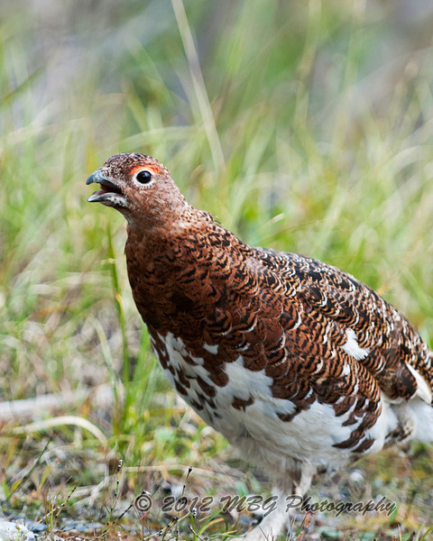 Here is the male Willow Ptarmigan raising cane with the three of us photographers.