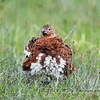 The male Willow Ptarmigan trying to look bold for a photograph.