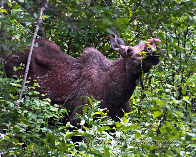Here is one of the best photos of the female moose taken at the park near Anchorage. Difficult setting to photogragh in.
