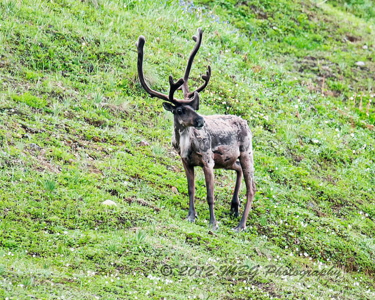 We saw several caribou during the tour. Usually they were too far away to get any good photos of. But this guy was fairly close and photo came out okay.