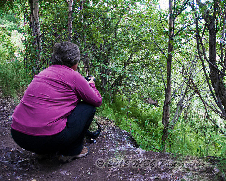 My wife Becky trying to photograph a moose and calf through a thick undergrowth. This shot was actually taken in a park around Anchorage.