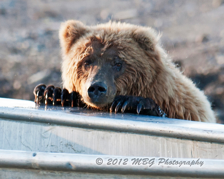 Oh I am looking for fish! This bear smells the scent of red salmon that was caught in this boat. Unluckly for the bear the guys emptyed the boat of the fish which we had for dinner one night.