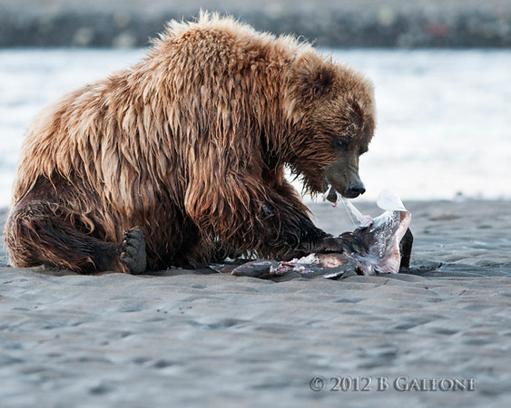 Bear on the beach with a skate that the lodge's fisherman had thrown out.