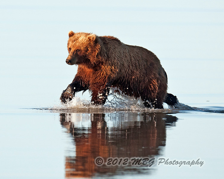 Bears looks really neat running in the water. I was lucky to capture a few nice ones.