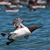This murre was taking off and close into the boat viewing area.