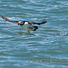 Another Horned Puffin getting into flight mode!