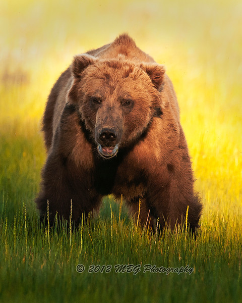 This was an older bear that we photograph in the evening light. I took many photos but this one was the best because of how the shadow and light plays on the bear.