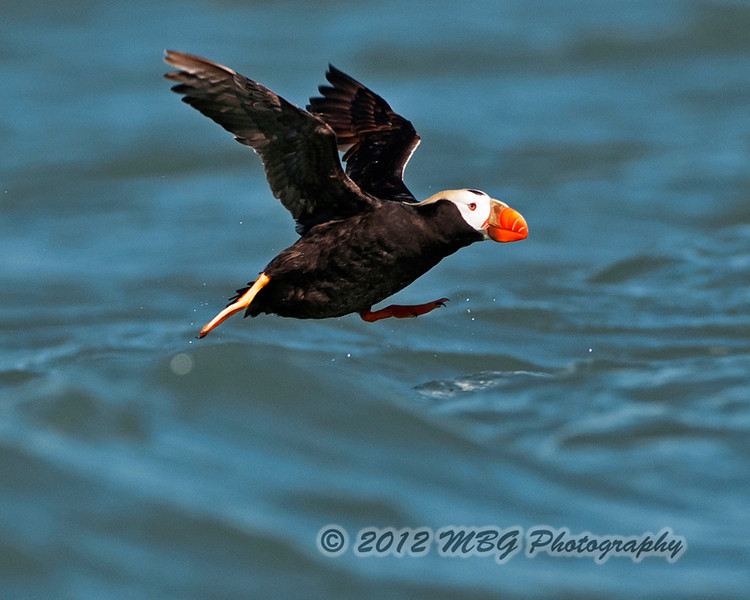 A Tufted Puffin trying to walk on water as it takes off!