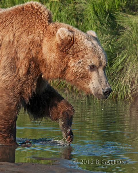 This is another one taken by Becky of the grizzly bear after filling himself up with water.