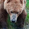 Great photo by Becky of a drinking bear captured at Lake Clark NP.