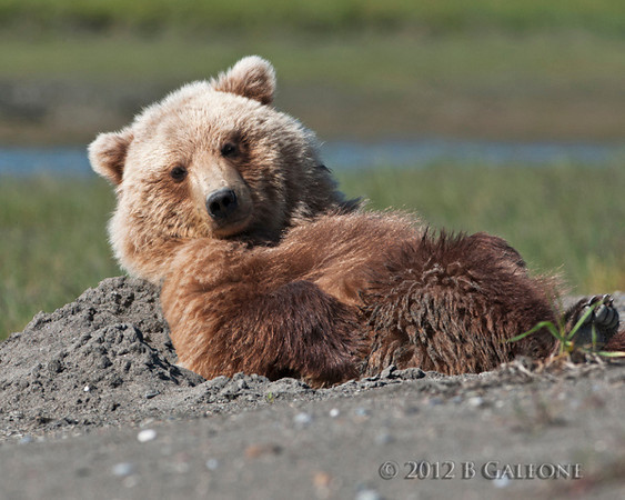 Becky captured this picture of a bear making a sand bed. Boy does it look relaxed.