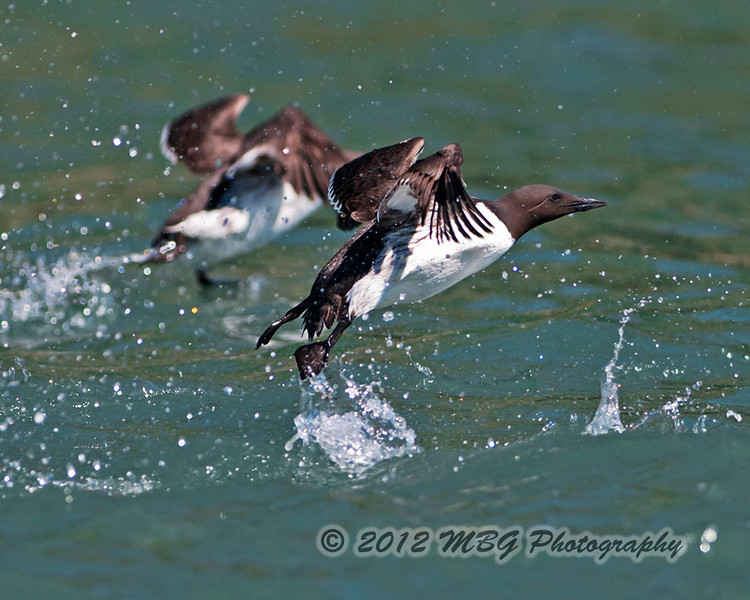 A Murre just taking off after the boat approched it. These and the puffins are extremely fast flying birds and hard to lock on.